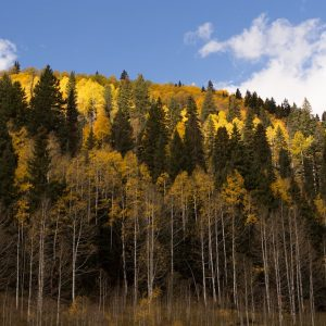 Golden aspen leaves in the Hermosa Trail Area