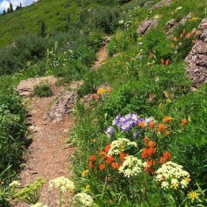 Colorado Pass Trail Wildflowers High Country Trails 2000